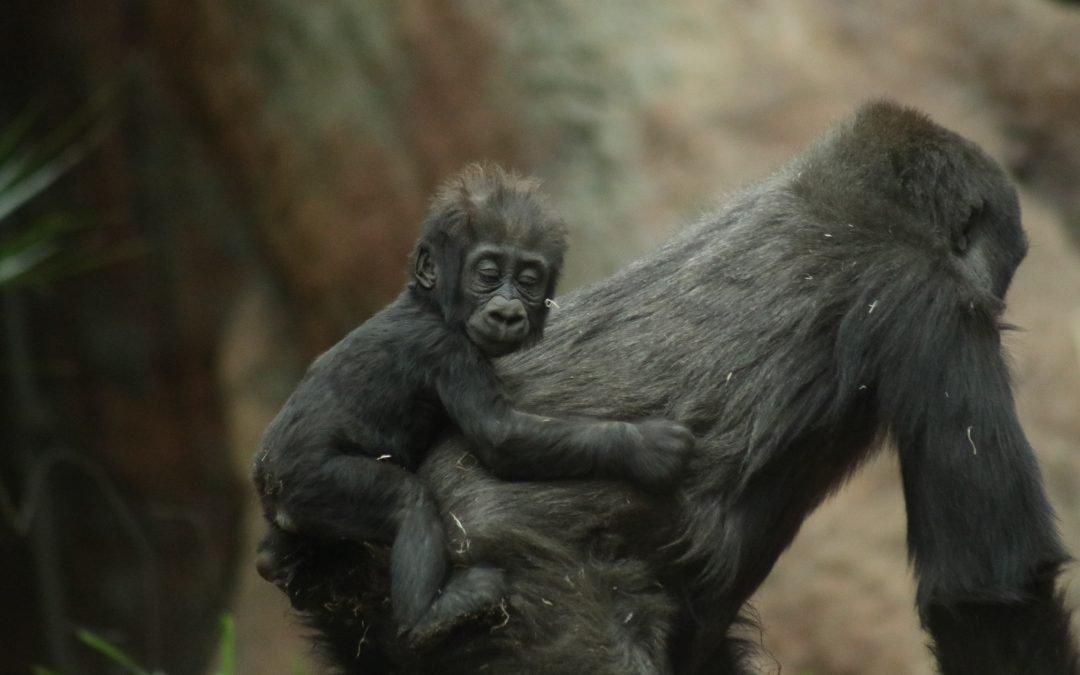 Jane Goodall: «Los humanos, como especie, vamos hacia atrás»